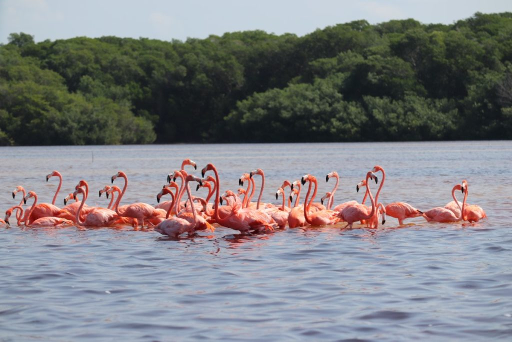 Celestún flamingo´s Mexico