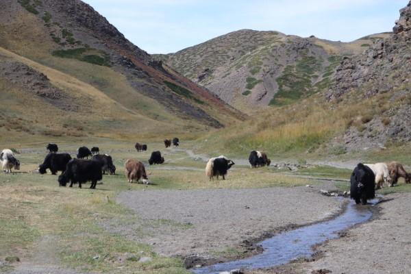 Vulture valley yaks Mongolië